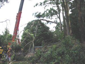 13 Large Dangerous Tree