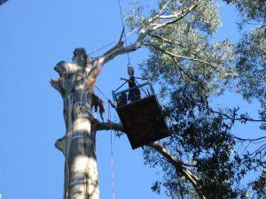 22 Large Hazardous Tree