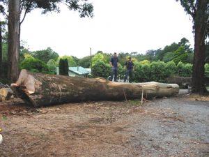31 Hazardous Tree Boronia