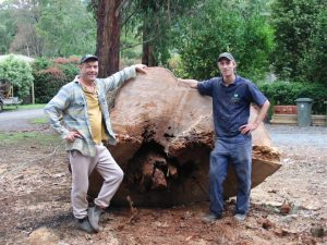 33 Large Dangerous Tree