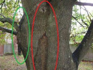 Tree Report Old Oak